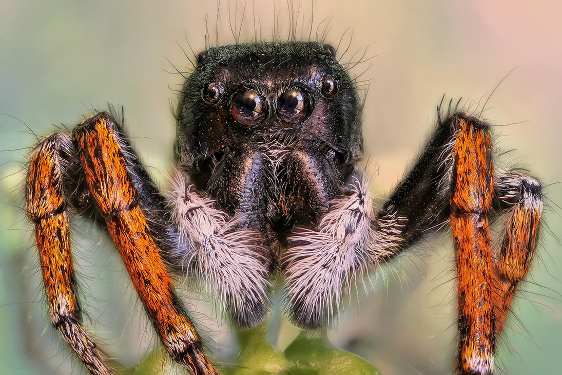 JUMPING SPIDER by ELKAPL
