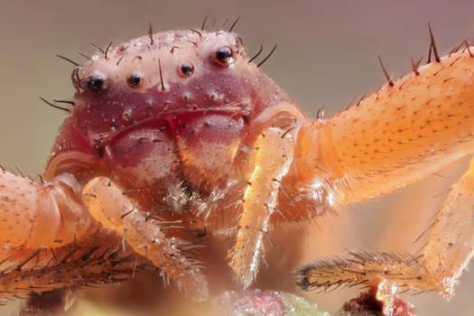 ASHAMED SPIDER