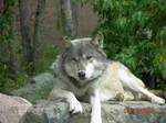 Another Wolf Picture