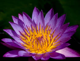 Waterlily Wallpaper by justfrog