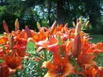 Close up of Tiger lilies by KasakuraxMaskai