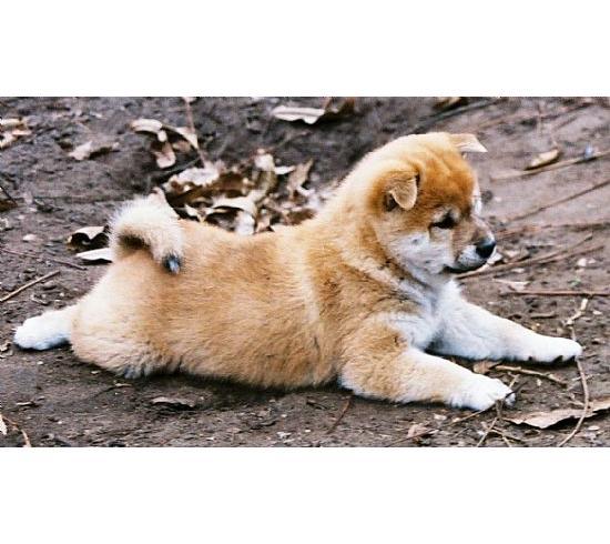 cute shiba by samooni