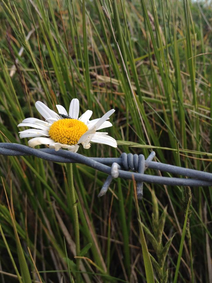 Flower and barbed wire by runnerbabe on deviantart