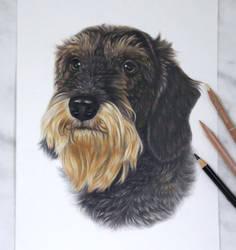 wire haired dachshund :)