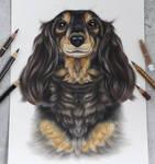 Long haired dachshund :)