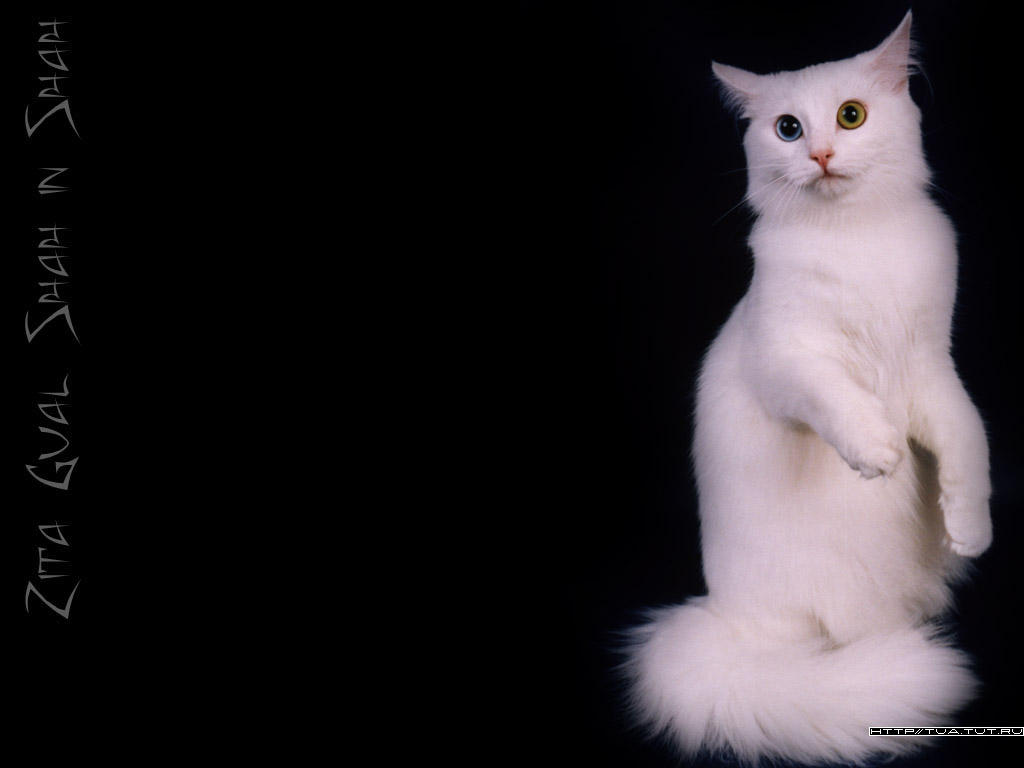 Turkish Angora Wallpaper 3 by sindrome