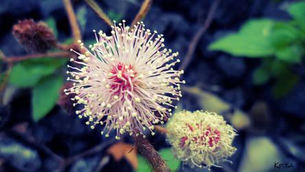 Mimosa flower by kpza