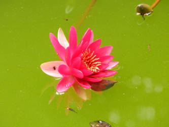 Pink waterlily by Bputy-crazygirl