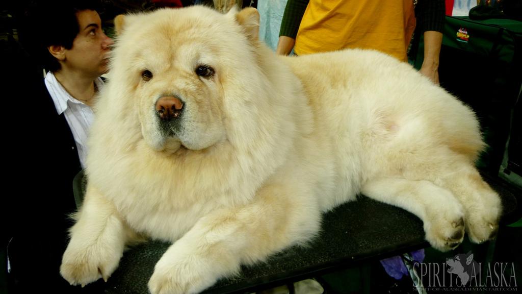 Golden Collar-2010: Chow Chow by Spirit-Of-Alaska