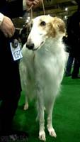 Golden Collar-2010: Russian Borzoi by Spirit-Of-Alaska