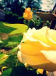 Mom's Roses 2
