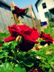 Mom's Roses 3