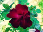 Mom's Roses 5