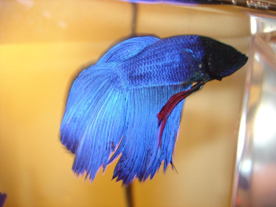 Caesar male veil tail betta by b rad tyga on deviantart for Male veiltail betta fish