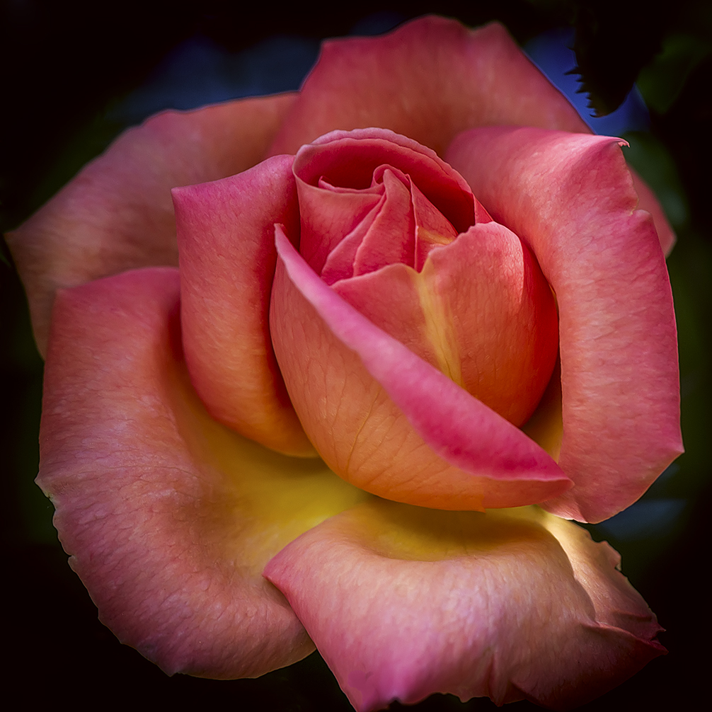 A Blooming Rose by MarkLucey