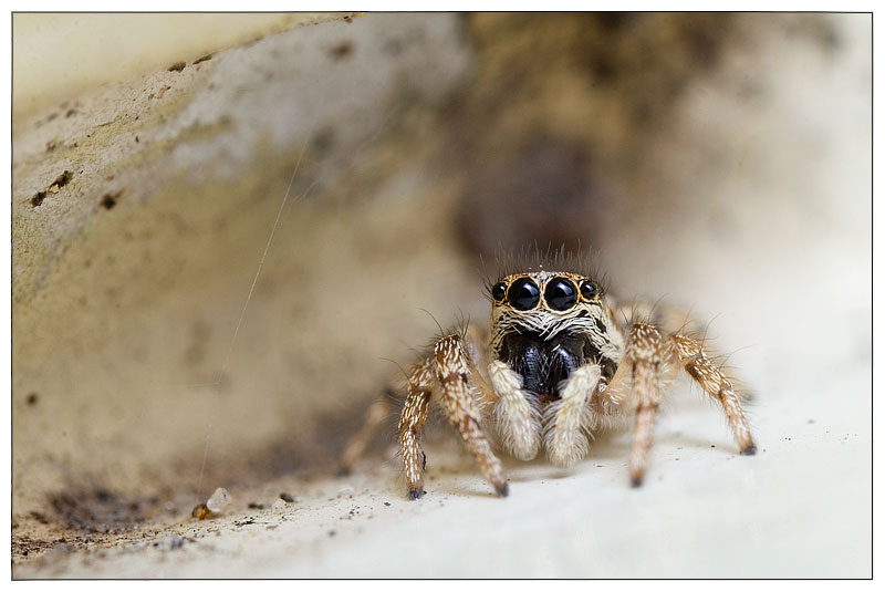 Cute jumping spider - photo#15