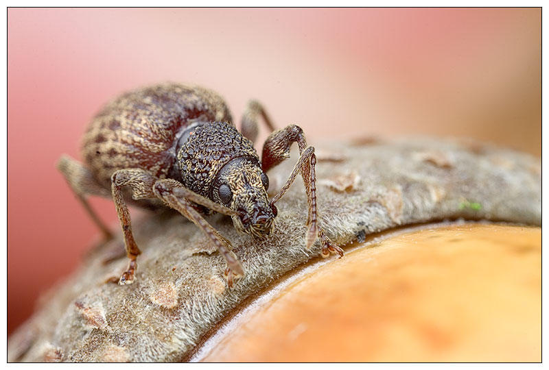 Weevil 1 by EdwinBont