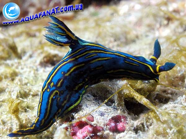 Nudibranchia-46-(aquafanat.info) by RedBast