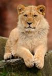 Lion02