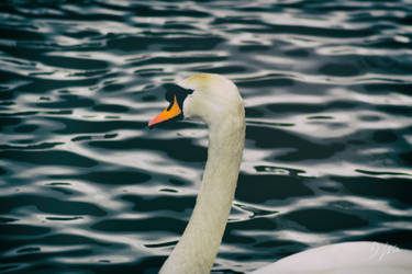 Swan on the Wear by domwphoto