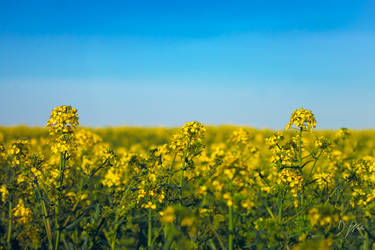 Oilseed crop by domwphoto