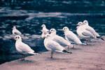 Black Headed Gulls Winter Plumage