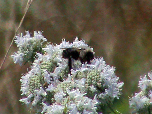 Bee on Mountain Mint Flower by Gingitsune-Lady-Fox