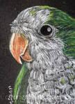 Quaker Parrot ACEO
