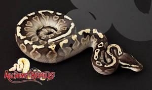 Female Lesser GHI Ball Python Photo