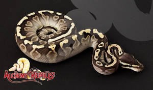Female Lesser GHI Ball Python Photo