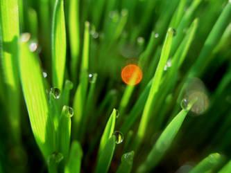 green wheat by anamarijah