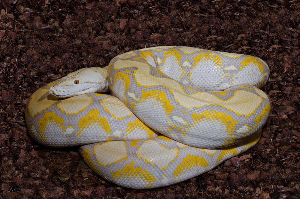 Lavender albino tiger reticulated python - photo#3