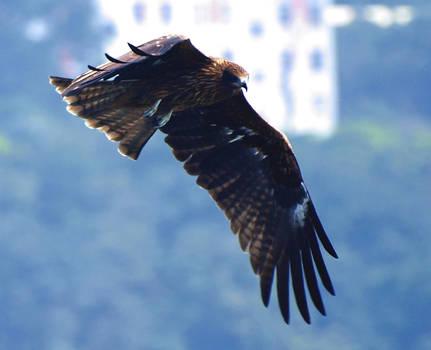 Black Kite Soars