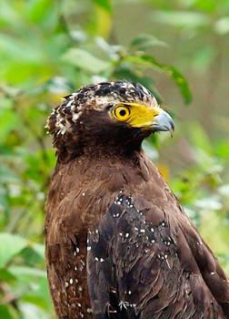 Portrait of a Serpent Eagle