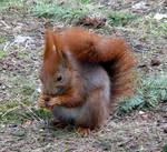 Squirrel's dinner
