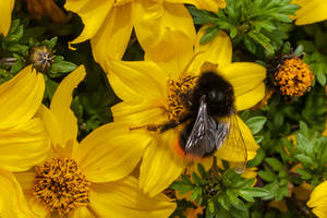 In the small world of Bumblebee and Bidens by Janszoon