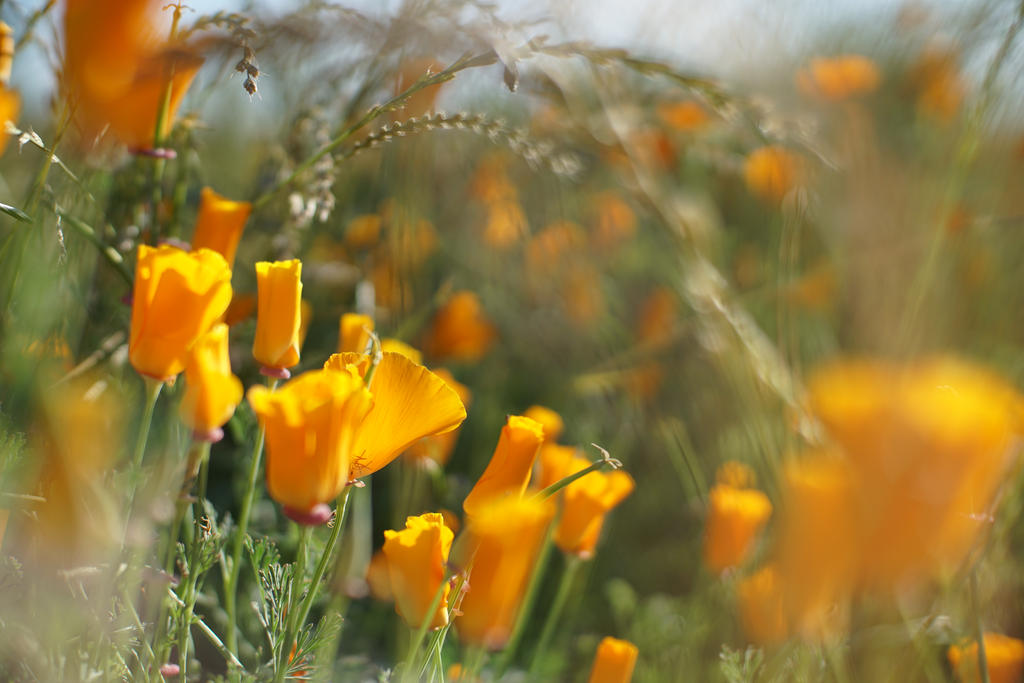 California Poppies by Alphacamera