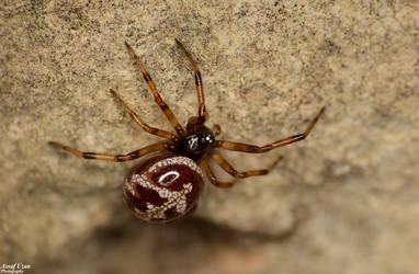 False Widow Spider by Au-79