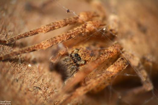 Zoropsis Sp.