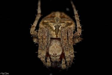 Araneidae
