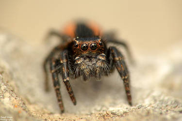 Red backed Jumping Spider by Au-79