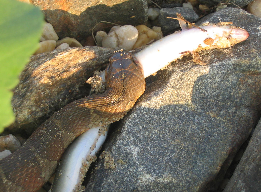 Northern water snake eats fish by ce3design on deviantart for Snake eating fish