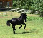 Friesian gallop