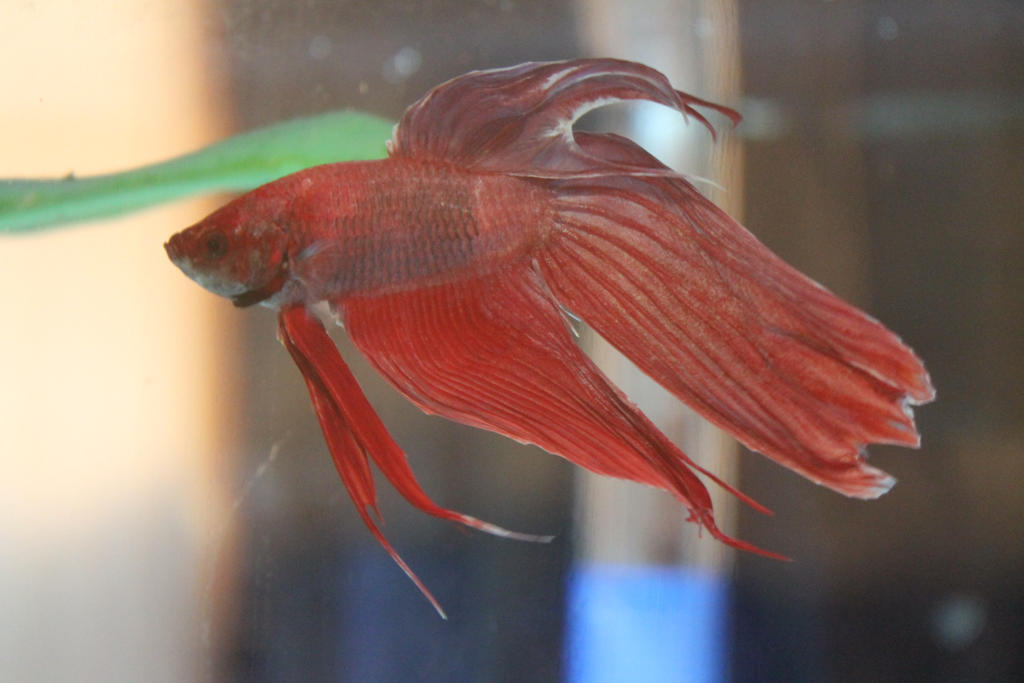 Purple veiltail male betta by doublevision107 on deviantart for Male veiltail betta fish
