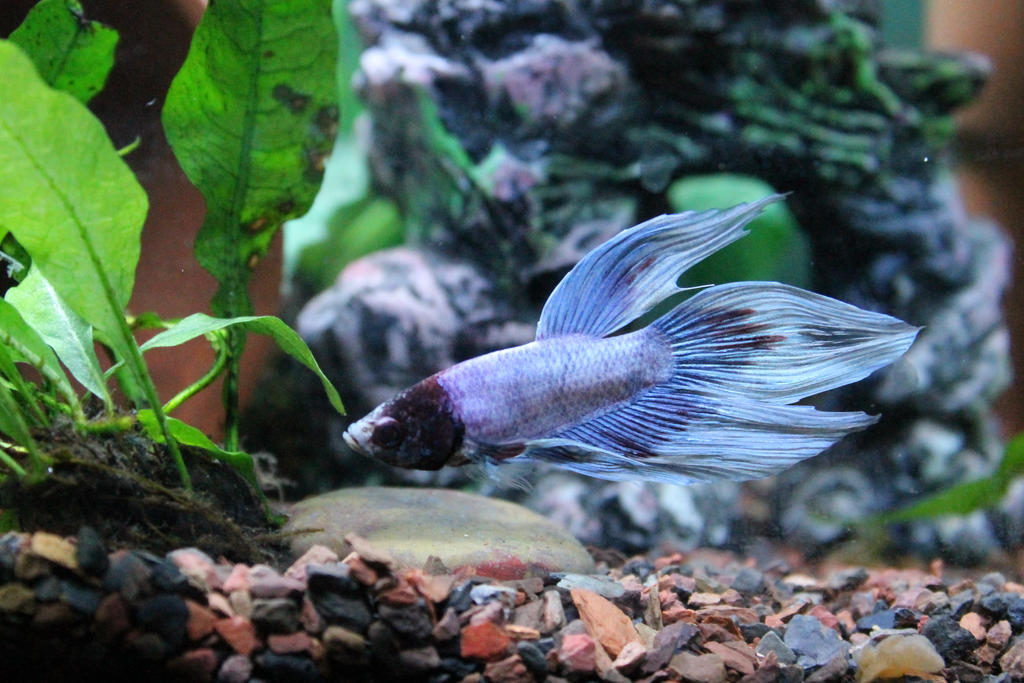 Marble veiltail male betta by doublevision107 on deviantart for Male veiltail betta fish