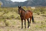 Bay Mustang Stallion