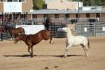 Bay and Grey Mustangs at Liberty
