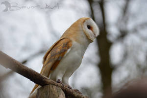 Barn Owl by Savo-Art