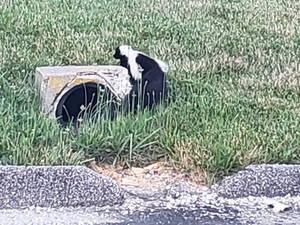 skunk at work
