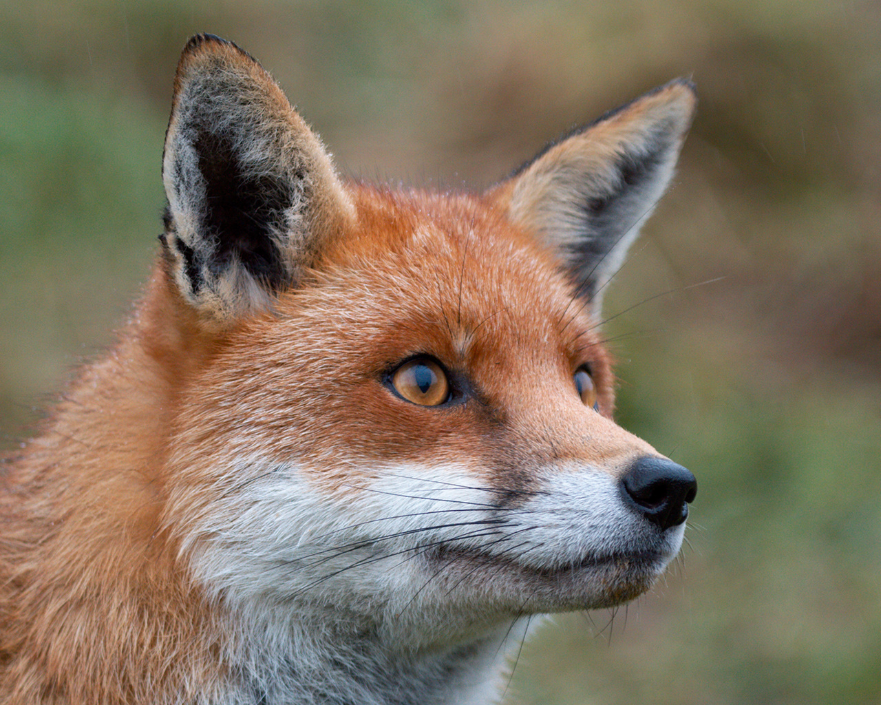 red fox face and - photo #29